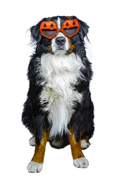 Bernese mountain dog sits isolated on white background with pumpkin glasses dressed for Halloween
