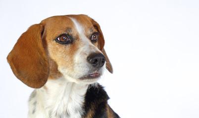 Chien beagle tricolore elisabeth  de 3/4 isolé fond blanc regard franc et museau tendu expressive oreilles pointées en avant à l'arrêt