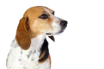 Chien beagle tricolore beagle elisabeth  de 3/4 isolé fond blanc regard franc et museau tendu