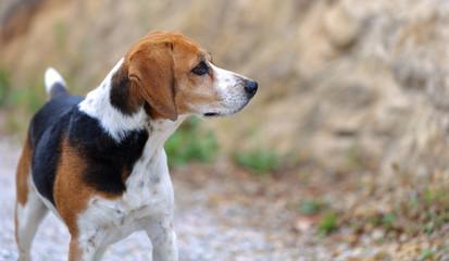 Chien beagle tricolore beagle elisabeth de profil oreilles pointées en avant expressive et fond avec bokeh