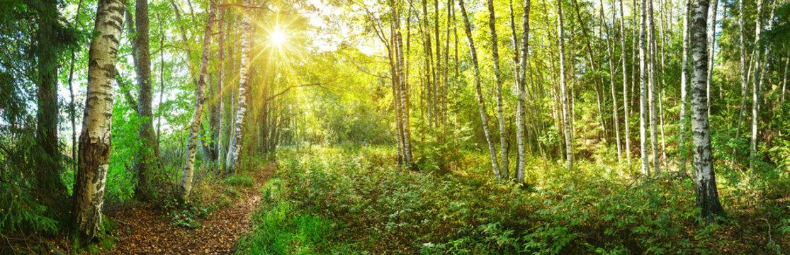 birch tree forest in morning