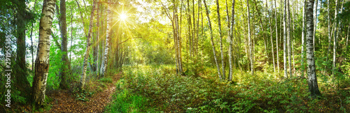 Wall mural birch tree forest in morning