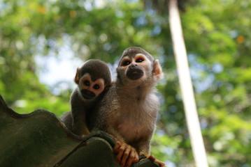 Macaco de Cheiro da Amazônia