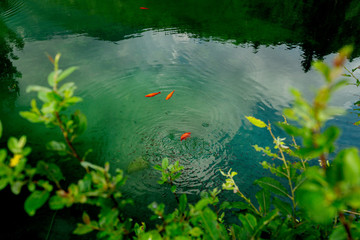 The beautiful red koi fish in pond in Welsperg Lake, Natural Park, Pale di San Martino, Trentino, Italy, Europe.