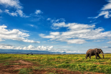 African elephant walking lonely on the masai mara kenya