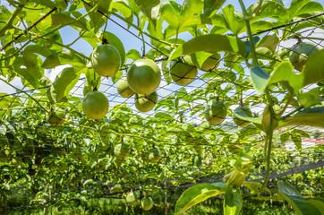 farm of passion fruit cultivation on plastic net