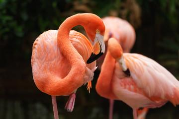 In de dag Flamingo American flamingo (Phoenicopterus ruber) bird