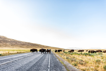 Spoed Foto op Canvas Antilope Wide angle view of many wild bison herd crossing road in Antelope Island State Park in Utah in summer with paved street and cars