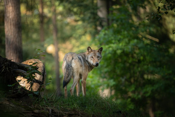 Poster de jardin Loup wolf in the wild during Sunrise