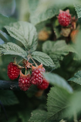 Close up of bright red raspberries on lush plant