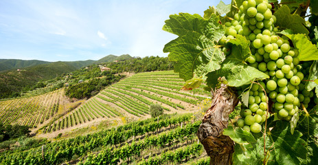 Fotobehang Wijngaard Grapevine with white wine in vineyard at a winery in Tuscany region near Florence, Italy Europe