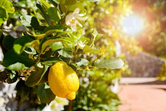 Lemon tree (Citrus limon) with ripe fruits in an italian garden near the mediterranean sea, Italy Europe