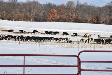 Large Dairy Cattle Herd in Winter
