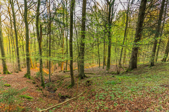 Awakening beech forest in spring with soft green leaves in German Vulkaneifel in Gerolstein with Brown fallen leaves and by rain water eroded gullies