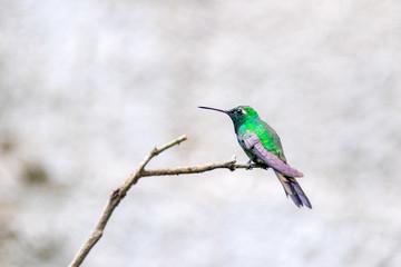 Cuban Emerald Hummingbird in Flight