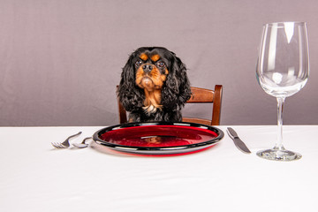 A cute dog waits patiently for food, sitting at the table like a human, hoping to be fed. Cavalier King Charles Spaniel breed.