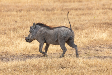 Warthog Running in Golden Grassland