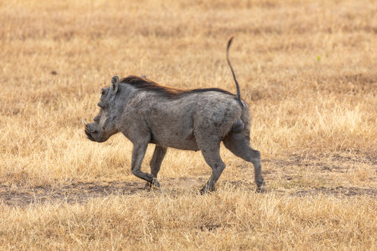 Warthog Running in Golden Grassland