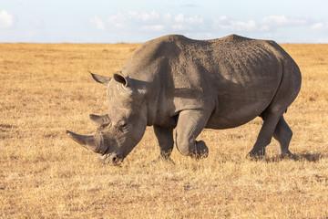 Foto auf Gartenposter Nashorn White Rhino Walking, Ol Pejeta Conservancy, Kenya, Africa