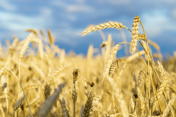 Ripe wheat in an agricultural field against blue sky with clouds. Autumnal Harvest time. Selective focus