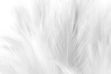 closeup white feathers line texture background Wall mural