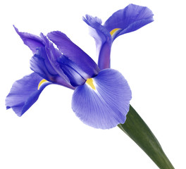 Fond de hotte en verre imprimé Iris Single blue iris flower isolated on white background