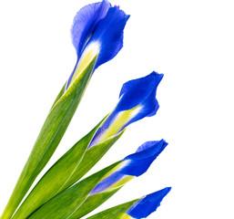 Four iris flower buds on white background