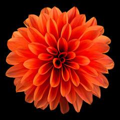 Single orange dahlia flower isolated on black background