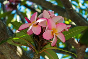 Plumeria with pink and yellow flowers from Cape Town in South Africa.