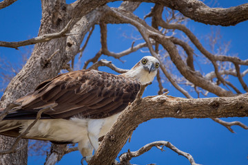 White-Bellied Sea-Eagle (Haliaeetus leucogaster)  in Tree against a clear blue sky