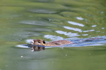 Nutria (Myocastor coypus) swimming in a lake in the nature protection area Moenchbruch near Frankfurt, Germany.