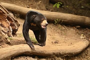 Malayan sun bear walking through the jungle. Very rare and endangered animal in the nature habitat. Helarctos malayanus. Asian wildlife. Wild animals and the beautiful nature.  Wall mural
