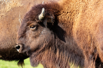 Fototapeta European bison herd and young calf (Bison bonasus) in the meadow.