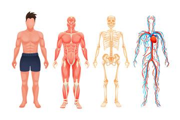 Human body anatomy man visual scheme system