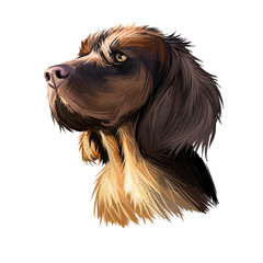 Picardy Spaniel dog portrait isolated on white. Digital art illustration of hand drawn dog for web, t-shirt print and puppy food cover design, clipart. Epagneul Picard, breed of dog in France, gundog.