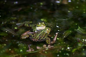 Wall Murals Frog Groene kikker paartje