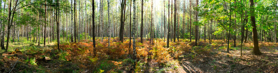 Beautiful forest in autumn with bright sun shining through the trees - wide panoramic view.