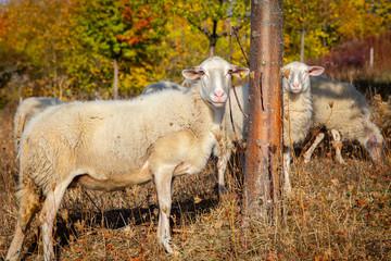 Schafe im Rheingau.