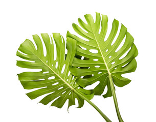 Monstera deliciosa leaf or Swiss cheese plant, Tropical leaves isolated on white background, with clipping path
