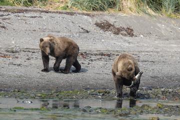 Futterneid ?- zwei junge Grizzlybären beim jagen und Fressen von Lachsen, ihrer Hauptrnahrung