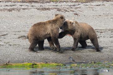 Zwei Jungbären beim Spielen - Junge Grizzlybären spielen oft stundenlang miteinander