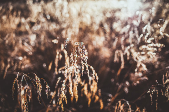 dry long grass in warm evening light in autumn