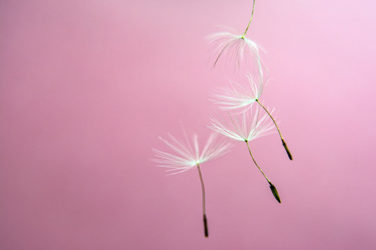 Dandelion seeds background abstract macro photo. Copy space for text