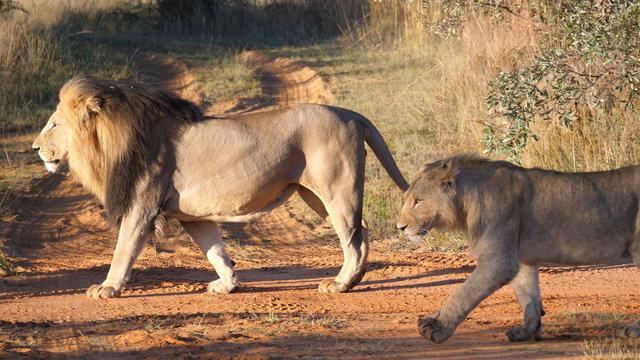Lion couple walking away