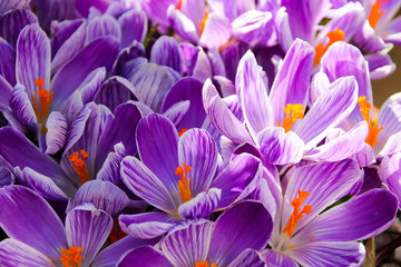 Photo sur Plexiglas Crocus Floral background of crocus in full flower in spring. Taken in Cardiff, South Wales, UK