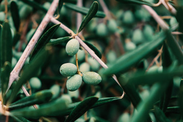 Ingelijste posters Olijfboom Detail of olive tree branch. Closeup of green olives fruits and leaves with selective focus and shallow depth of field, outdoors