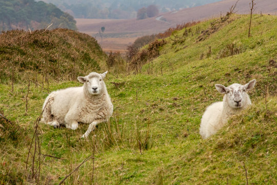 Two Sheep Lying Down in the Wicklow Mountains