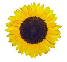 Gelbe Sonnenblume freigestellt vor weißem Hintergrund