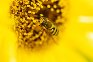 bee on yellow flower on blure background
