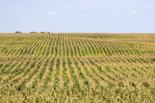 A green field of corn in eastern Iowa on a summer day.